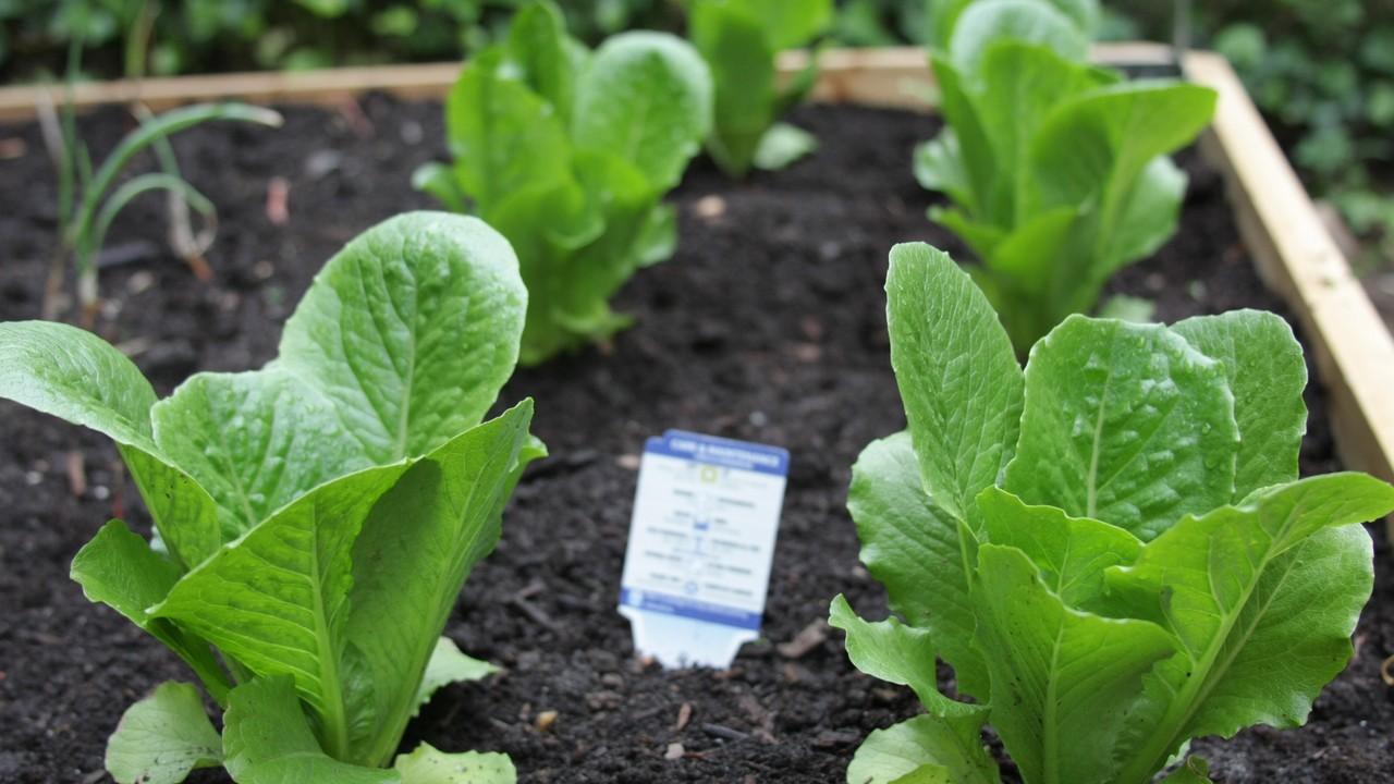 Őszi zöldségek vetése - spenót
