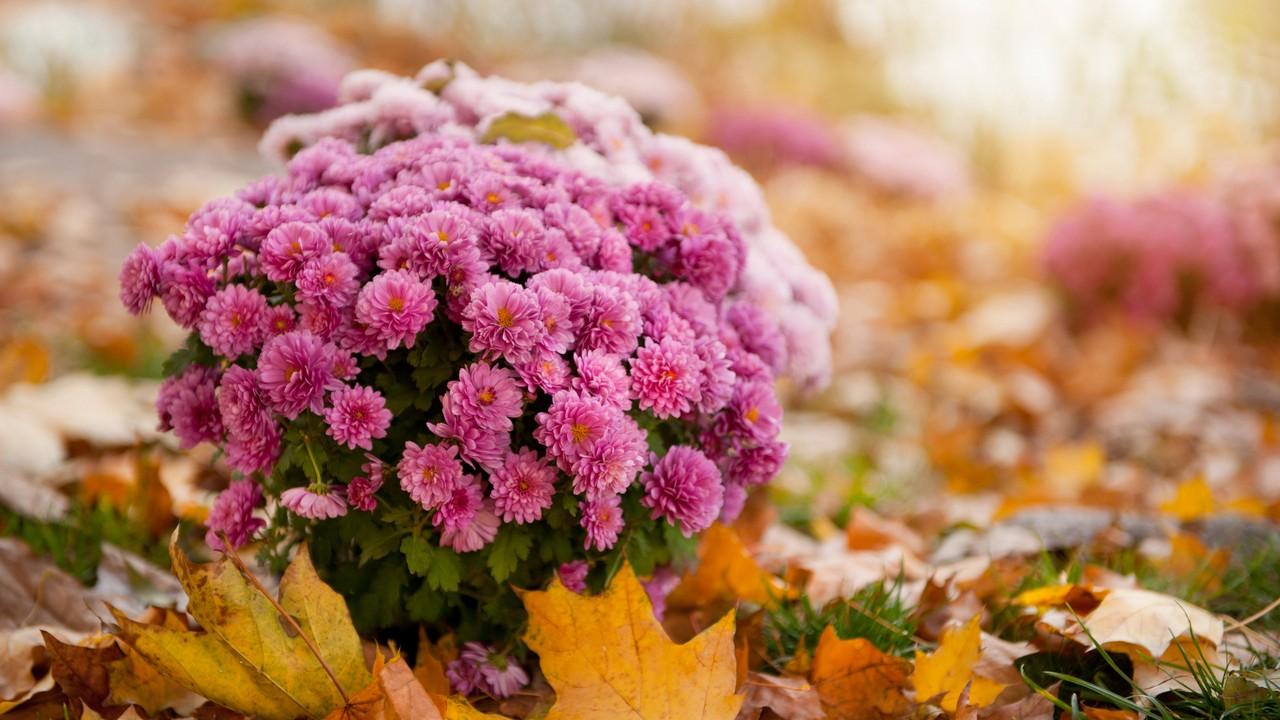 Fagytűrő virágok - krizantém