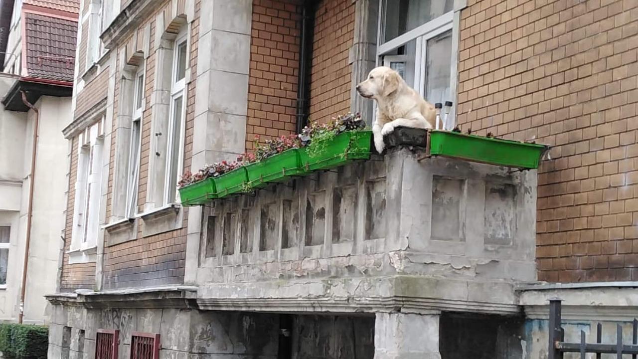 Turisztikai látványosság lett egy kutya az erkélyen