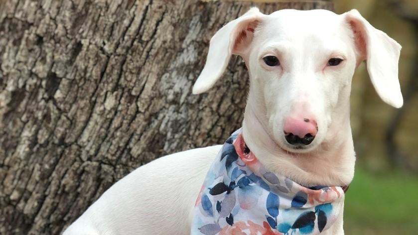 Duke, az albínó tacskó