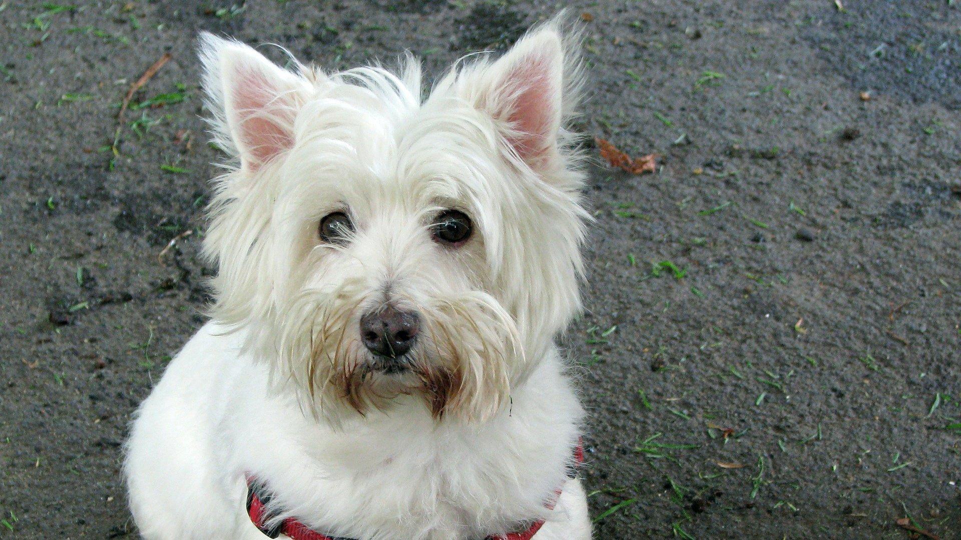 Westie kutya