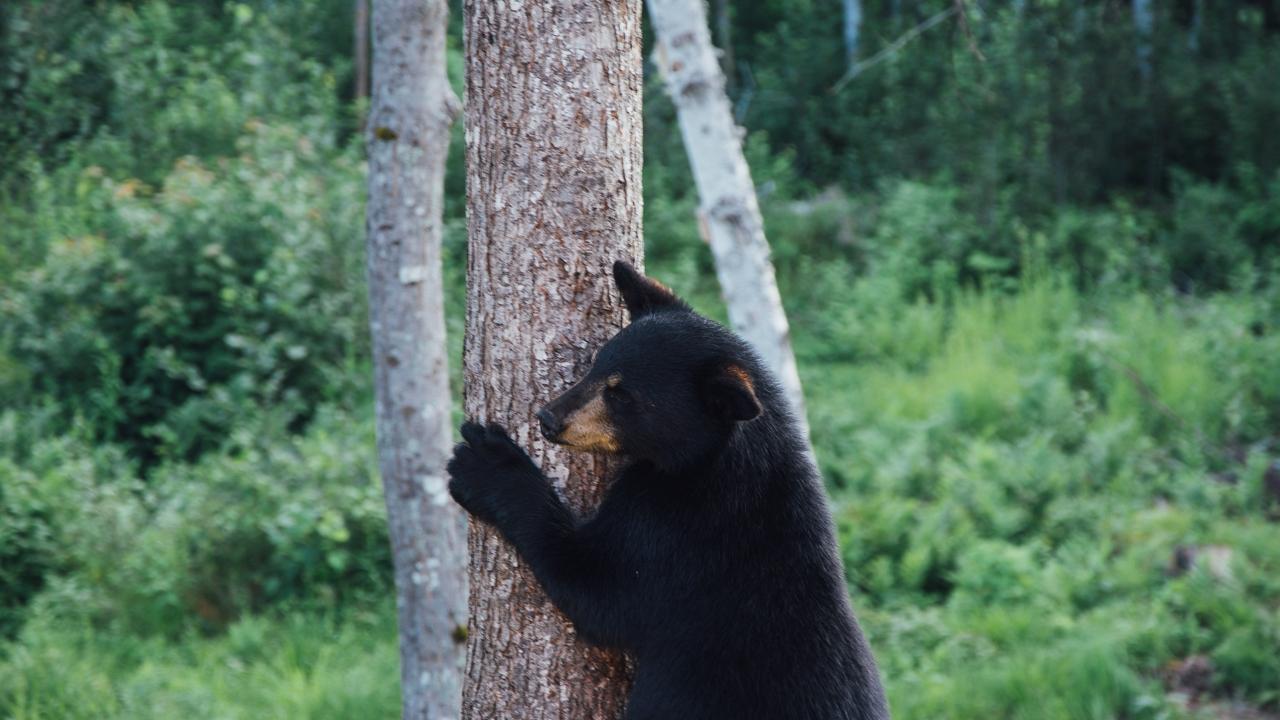 Széttrollkodta az esküvői fogadást egy medve