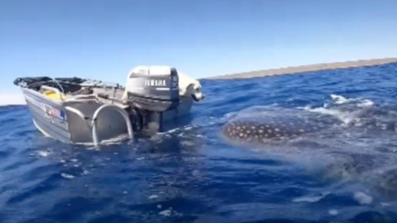 Puszit nyomott az óriási cápa orrára a kutya